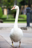 Swan in park Royalty Free Stock Images