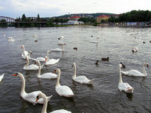 SWAN PARTY Stock Photography
