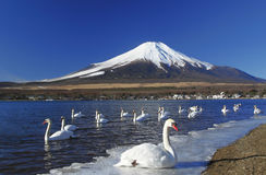 A swan party in front of Mt.Fuji Stock Photos