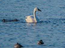 Swan At Pea Island. Beautiful Swan Photo taken at the Pea Island National Wild Life Refuge in the Outer Banks North Carolina royalty free stock photography