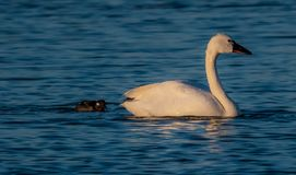 Swan At Pea Island. Beautiful Swan Photo taken at the Pea Island National Wild Life Refuge in the Outer Banks North Carolina royalty free stock images