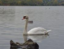 Swan on pennington flash, photo taken in the UK royalty free stock images