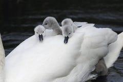 Swan piggyback Royalty Free Stock Photo