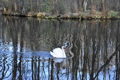 Swan at Pilica River 01 royalty free stock photos