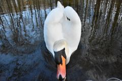 Swan at Pilica River 03 stock photo