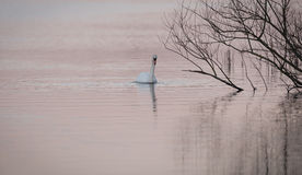 Swan On Pink Water Royalty Free Stock Photos
