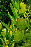 Swan plant. A detail of Swan plant in Australia royalty free stock images