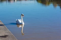 The swan on the Po River in Turin, Italy Stock Photos