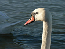 Swan Pofrtrait. A natural shot of a swan in the lagoon Stock Photography