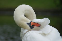 Swan polishing his feathers stock photo