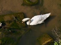 Swan in polluted water Royalty Free Stock Images