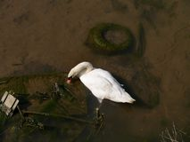 Swan in polluted water Stock Images