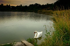 Swan on pond Royalty Free Stock Photography