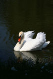 Swan on Pond Stock Photos