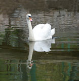 Swan in pond. White swan in the pond Royalty Free Stock Photos