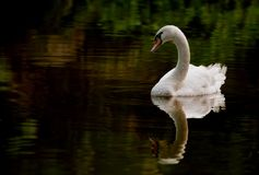 Swan in a pond Stock Image