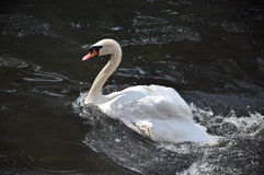 Swan in a pond Royalty Free Stock Photo
