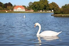 Swan in pond Stock Image