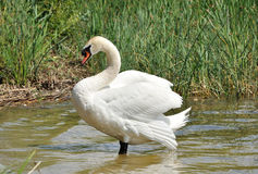 Swan on the pond. Adult white swan is standing in shallow water Stock Photography