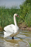 Swan on the pond. Adult white swan is standing in shallow water Stock Images
