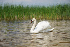 Swan on the pond. Adult white swan swims on the smooth surface of pond Stock Image