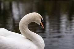 Swan on the pond. Autumn 2013. Russia. Moscow. Central Park of Culture and Rest. Swan on the pond royalty free stock photo