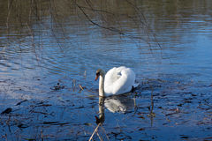 Swan on the pond Royalty Free Stock Image