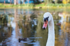 A swan is in a pond. A beautiful swan floats in a pond stock photos