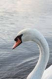Swan on pond Stock Photography