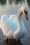 Swan on pond. Swan in the beautiful lake and landscape sunbeam stock photo