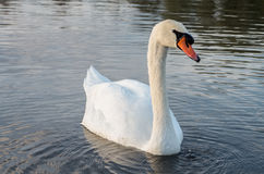 Swan on pond. Swan in the beautiful lake and landscape sunbeam Stock Image