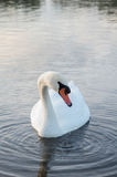 Swan on pond. Swan in the beautiful lake and landscape sunbeam Royalty Free Stock Images