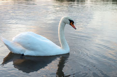 Swan on pond. Swan in the beautiful lake and landscape sunbeam Royalty Free Stock Photos
