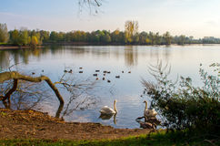Swan on pond. Swan in the beautiful lake and landscape sunbeam Royalty Free Stock Photography
