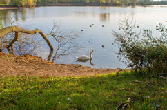 Swan on pond. Swan in the beautiful lake and landscape sunbeam Stock Photography