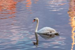 Swan on a pond in a city park stock photography