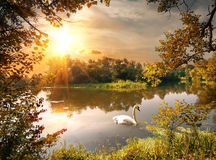Swan on the pond. In the evening