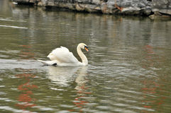 Swan in the pond Royalty Free Stock Image