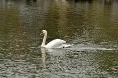 Swan in the pond Royalty Free Stock Images