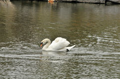 Swan in the pond Royalty Free Stock Photography