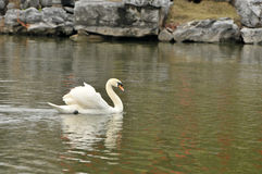 Swan in the pond Royalty Free Stock Photo
