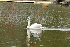 Swan in the pond Royalty Free Stock Photos