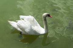 Swan on the pond. A Swan floats on the pond near the fish Royalty Free Stock Photo