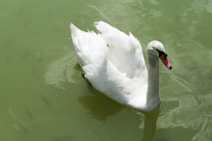 Swan on the pond. A Swan floats on the pond near the fish Royalty Free Stock Images