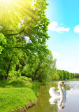 Swan on a pond in the forest. Royalty Free Stock Photos