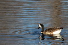 Swan with concentric blue and brown circles reflected on pond. Swan on pond has droplets of water falling from his beak. He sits in the middle of concentric stock photography