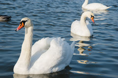 Swan and pond, lake photo. Beautiful picture, background, wallpa Stock Image