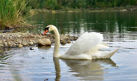 Swan in the pond, lakes Stock Photo
