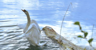 Swan in the pond, lakes Royalty Free Stock Photo