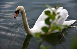 Swan in the pond, lakes stock images
